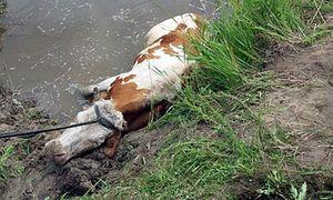Спасатели вытащили корову, едва не утонувшую в курском болоте