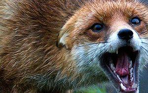 В Курской области растет заболеваемость бешенством среди животных