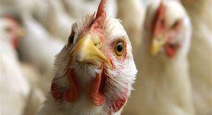 Вспышку птичьего гриппа зафиксировали в Курской области