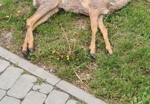 Тело мёртвой косули найдено у магазина в Белгороде