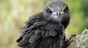 Стрижи установили новый рекорд скорости полета птиц в 830 км всего за день