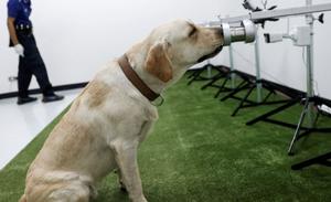 В Великобритании собак научили выявлять COVID-19 коронавирус