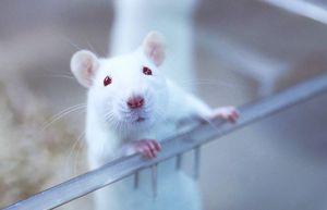 Самцы крыс дали потомство во время эксперимента ученых в Китае