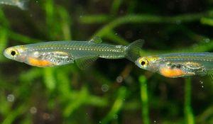 В Мьянме обнаружена рыба с маленьким мозгом и прозрачным телом